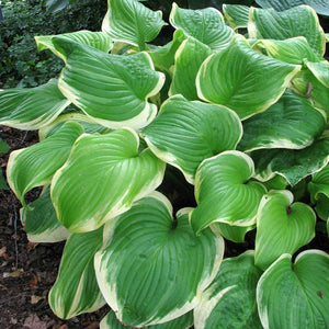 Hosta hybrid Fragrant Bouquet / Plantain Lily