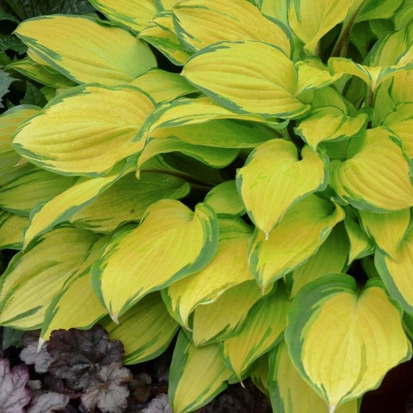 Hosta hybrid Island Breeze / Plantain Lily