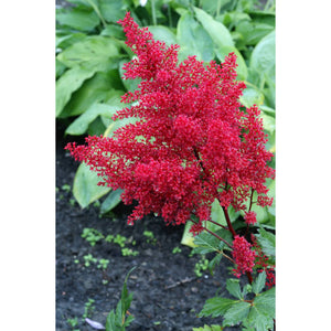 ASTILBE - japonica 'Red Sentinel' / Red Sentinel Astilbe