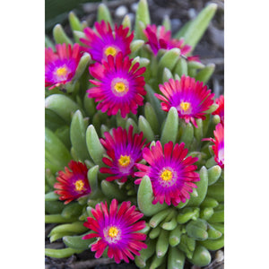 Delosperma - cooperi 'Jewel of the Desert Garnet' / Hardy Ice Plant
