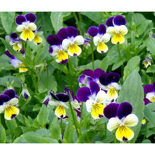 Viola tricolour Johnny Jump Up / Violet