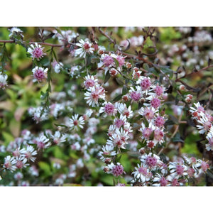 ASTER -  lateriflorus / 'Lady in Black' Aster