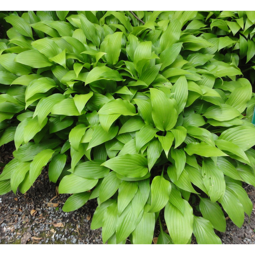 Hosta lancifolia / Plaintain Lily