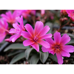 Lewisia - longipetala 'Little Raspberry' / Bitter Root