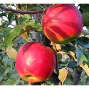 MALUS - 'MacIntosh ' / MacIntosh Apple
