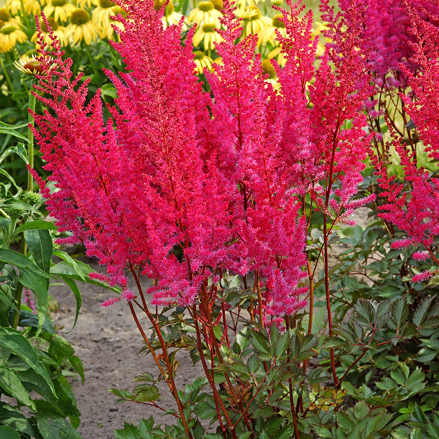 ASTILBE - chinensis 'Mighty Chocolate Cherry' / Mighty Chocolate Cherry Astilbe