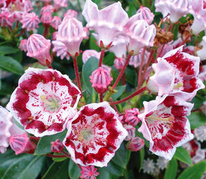 Kalmia latifolia 'Minuet' / Mountain Laurel