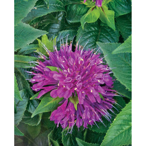 MONARDA - didyma 'Pardon My Purple' / Bee balm
