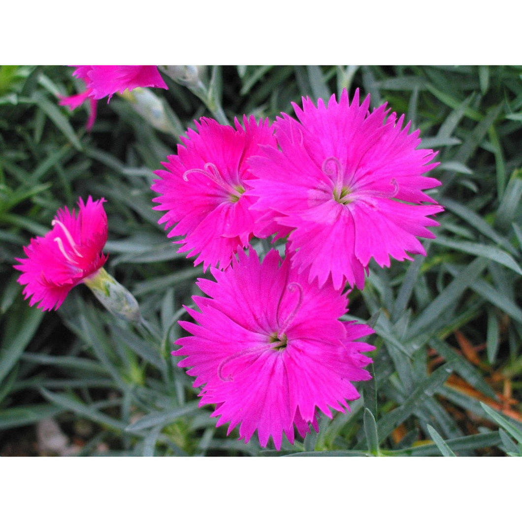 DIANTHUS - hybrid 'Neon Star' - Pinks / Sweet William