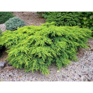 Juniperus chinensis 'Gold Coast®' / Gold Coast®Juniper