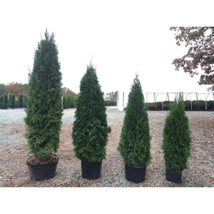 Thuja occidentalis 'Emerald' / Emerald Cedar