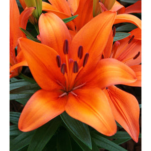 Lilium - asiatic 'Orange Matrix' / Lily