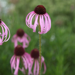 Echinacea pallida (Native) / Cone flower