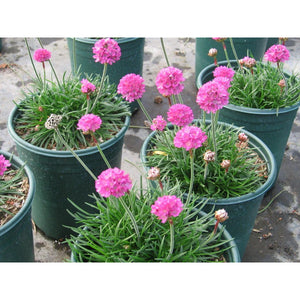 Armeria - maritima / Common Thrift 'Rubrifolia'