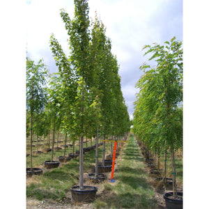 Acer - rubrum 'Armstrong' / Armstrong Red Maple