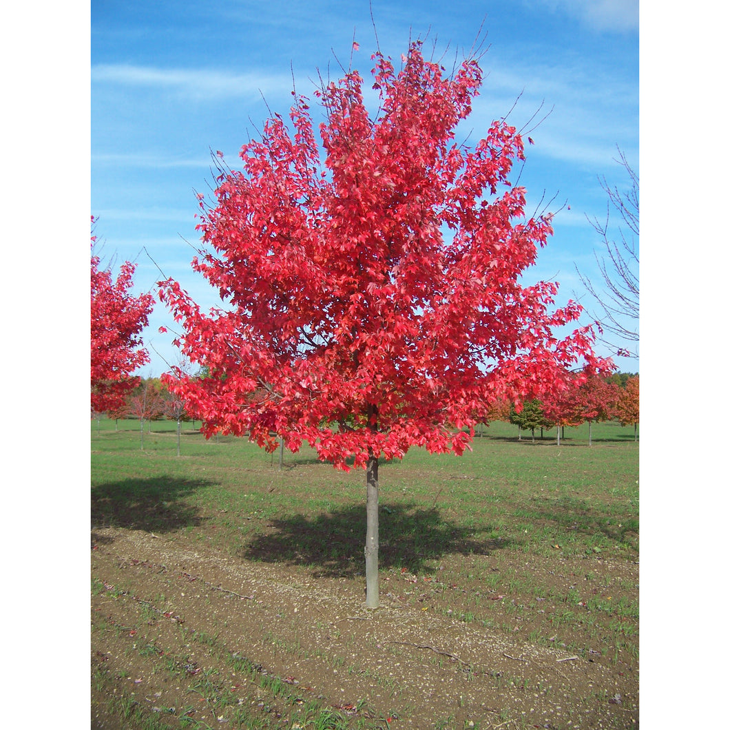 Acer - rubrum / Native Red Maple