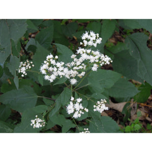 Eupatorium - rugosum 'Chocolate' / joe-pye weed