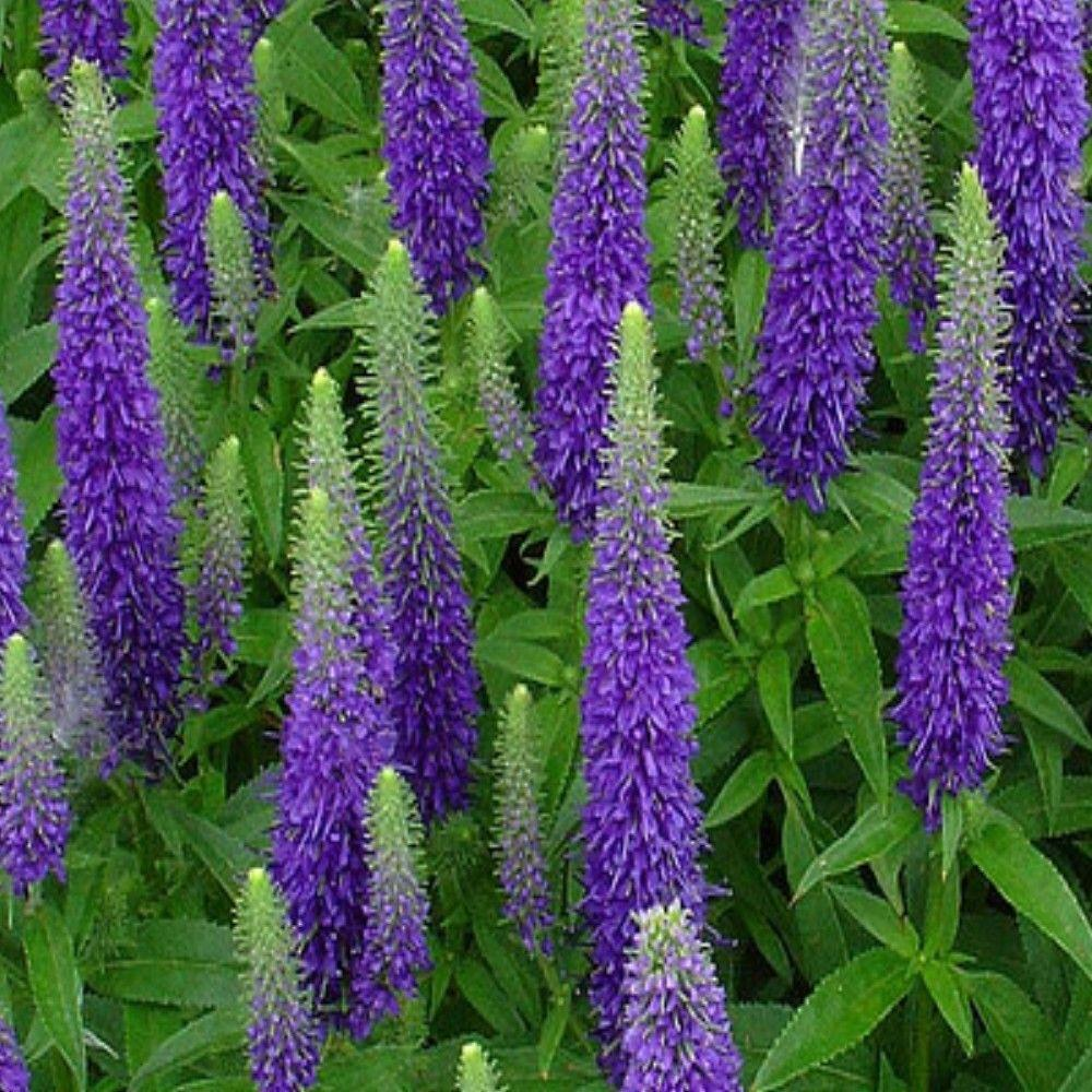 Veronica - spicata 'Royal Candles' / Speedwell