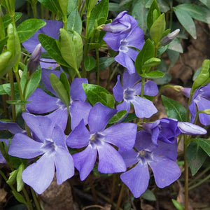 Vinca minor / Periwinkle