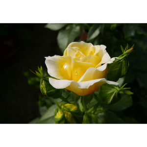Rosa 'Easy Elegance® Yellow Brick Road'