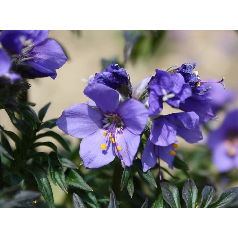 Polemonium - yezoense 'Purple Rain' / jacob's ladder