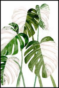 Monstera Albo