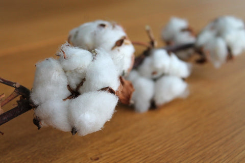 natural cotton on the plant