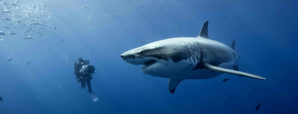 Why We Love Sharks!