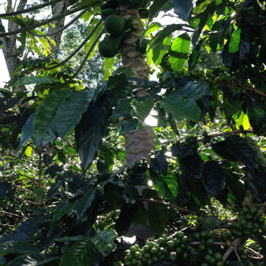 Coffee cherries grow under the shade
