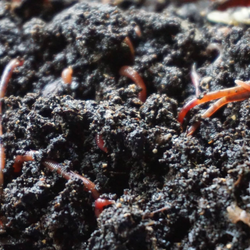 Red Worm, Starter Colony ~ Red Wiggler, Blues and European Night Crawler Mix