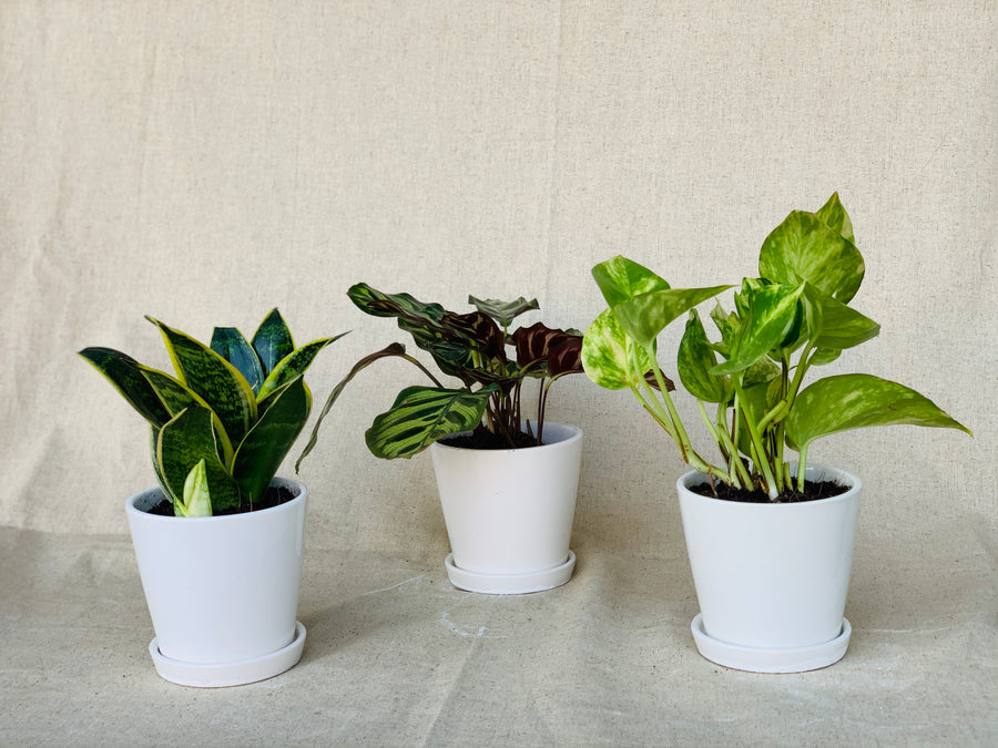 Tiny Forest Starter Kit : A Set of 3 Small Plants