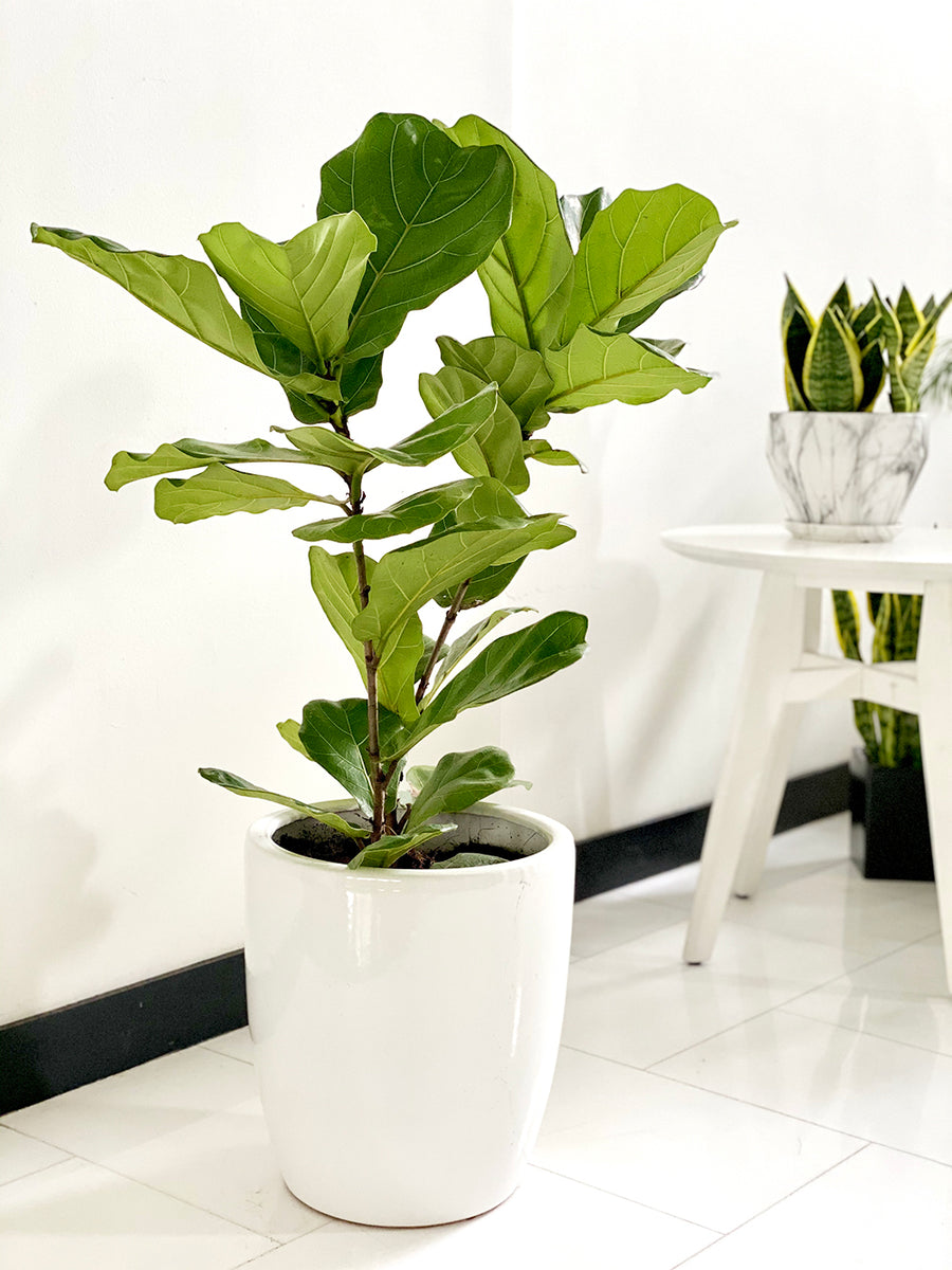 Fiddle Leaf Fig in Large White Planter