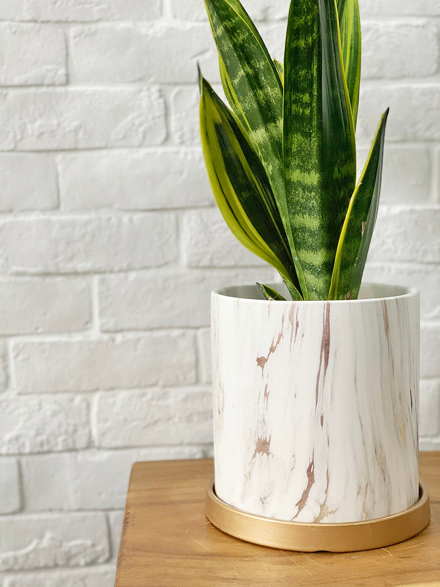 Modernist Marble Collection : Sansevieria in White Round Planter