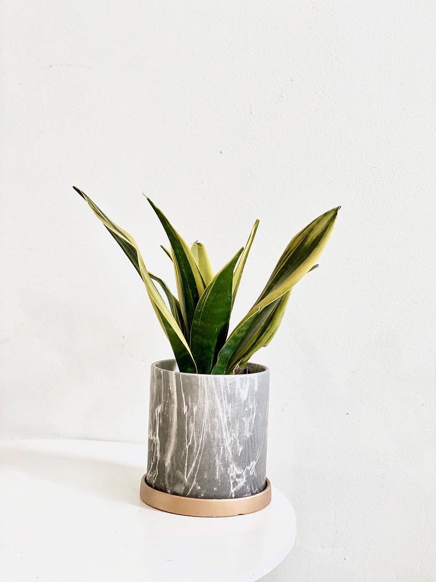 Modernist Marble Collection : Sansevieria in Grey Round Planter