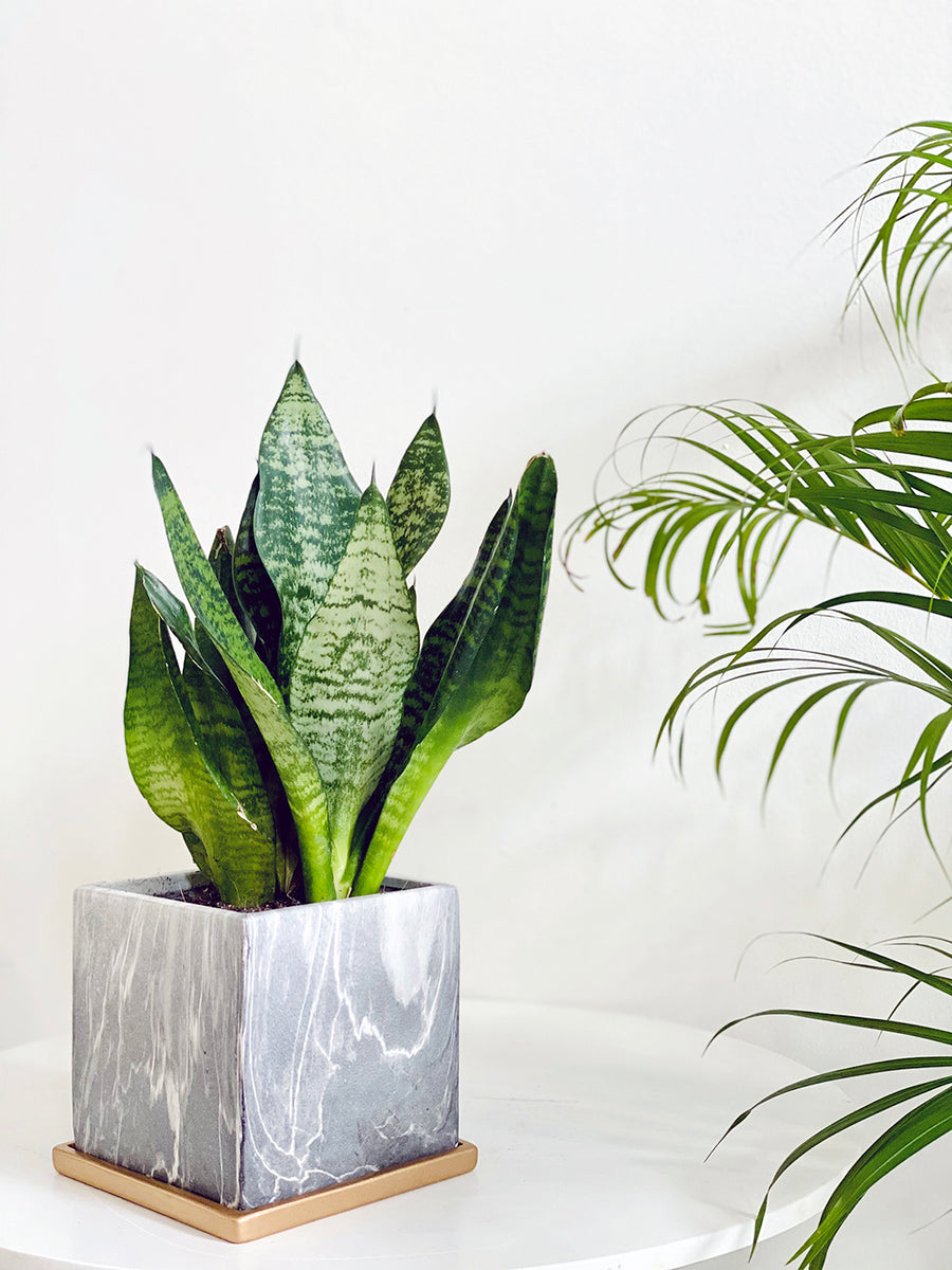 Modernist Marble Collection : Sansevieria in Grey Square Planter
