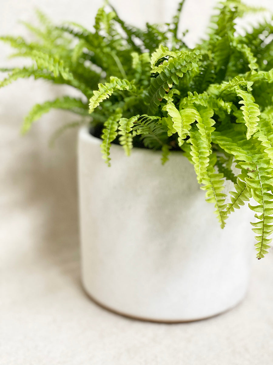 Boston Fern in White Planter