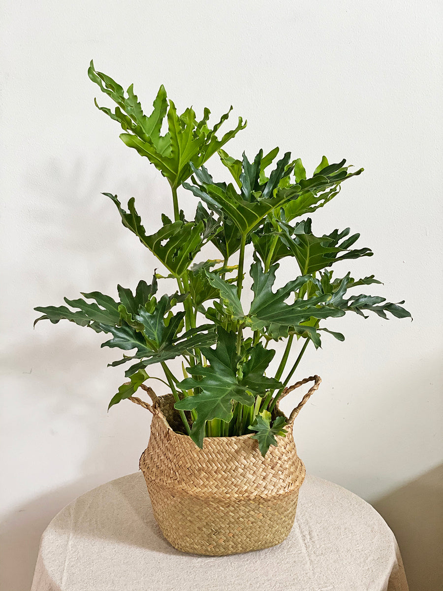 Medium Philodendron Hope in Seagrass Basket