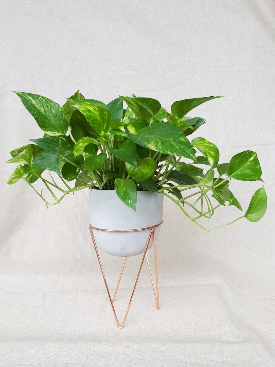 Pothos in White Planter with Rose Gold Stand