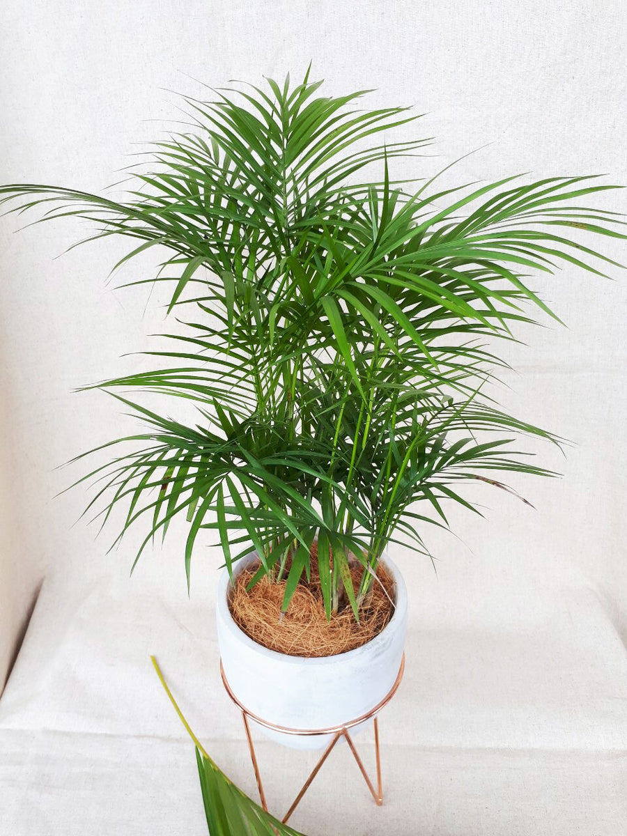 Parlor Palm in White Planter on Rose Gold Stand