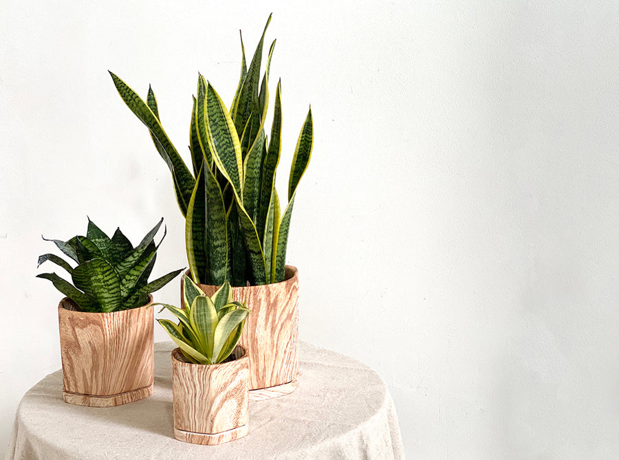 Sansevieria 'Black Gold' in Large Wood Planter