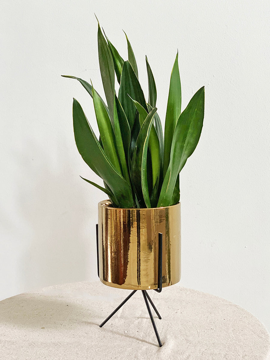 Limited Edition Sansevieria Moonshine in Medium Gold Table Stand Planter