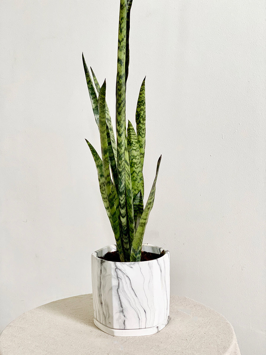 Sansevieria Zeylanica in Large White Marble Multifaceted Planter