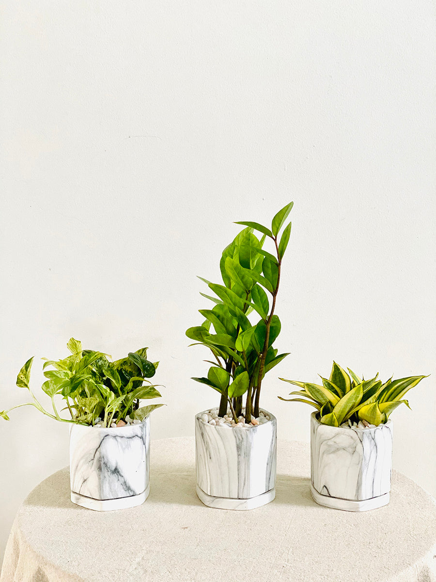 White Marble Starter Kit : A Set of 3 Medium Sized Plants