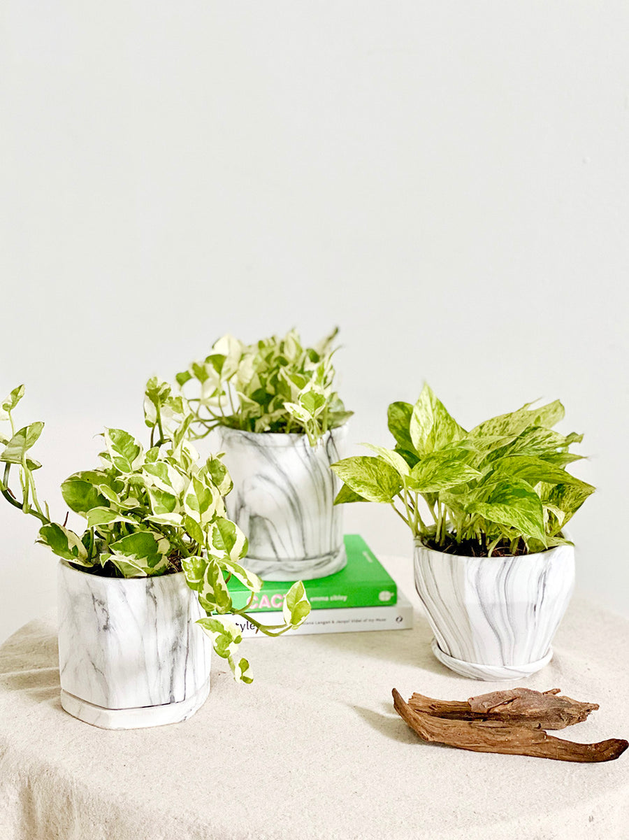 Marble Pothos in Small Modern Shape White Marble Planter
