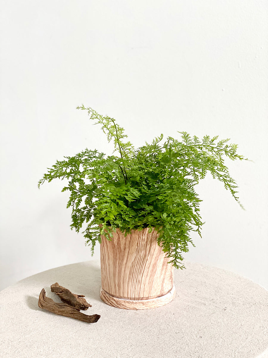 Medium Mother Fern in Cylindrical Wooden Textured Planter