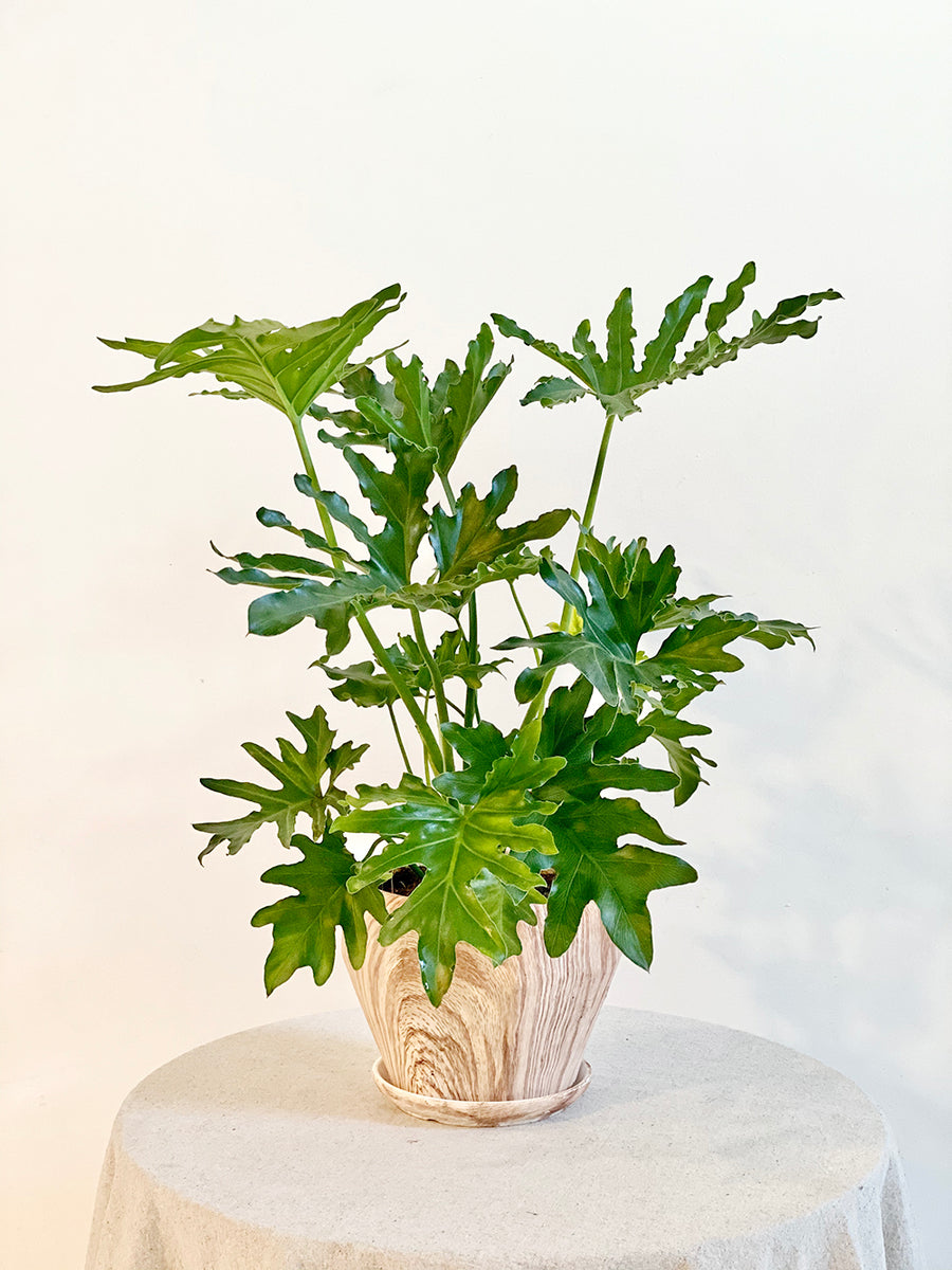 Medium Philodendron Hope in Wood Textured Planter