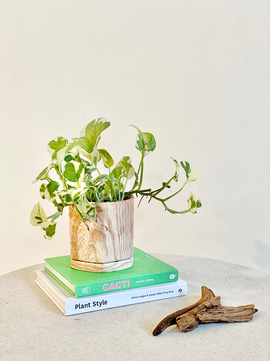 Njoy Pothos in Small Multifaceted Wood Planter