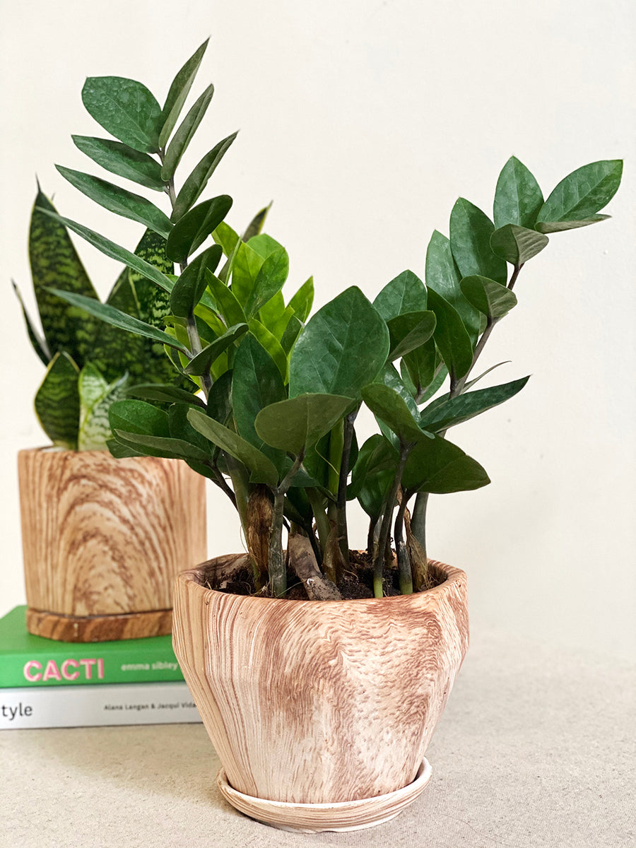 Small Zz Plant in Wooden Planter