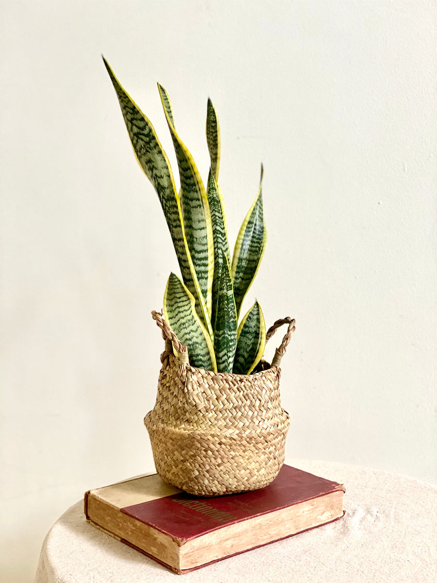 Sansevieria 'Black Gold' in Seagrass Basket