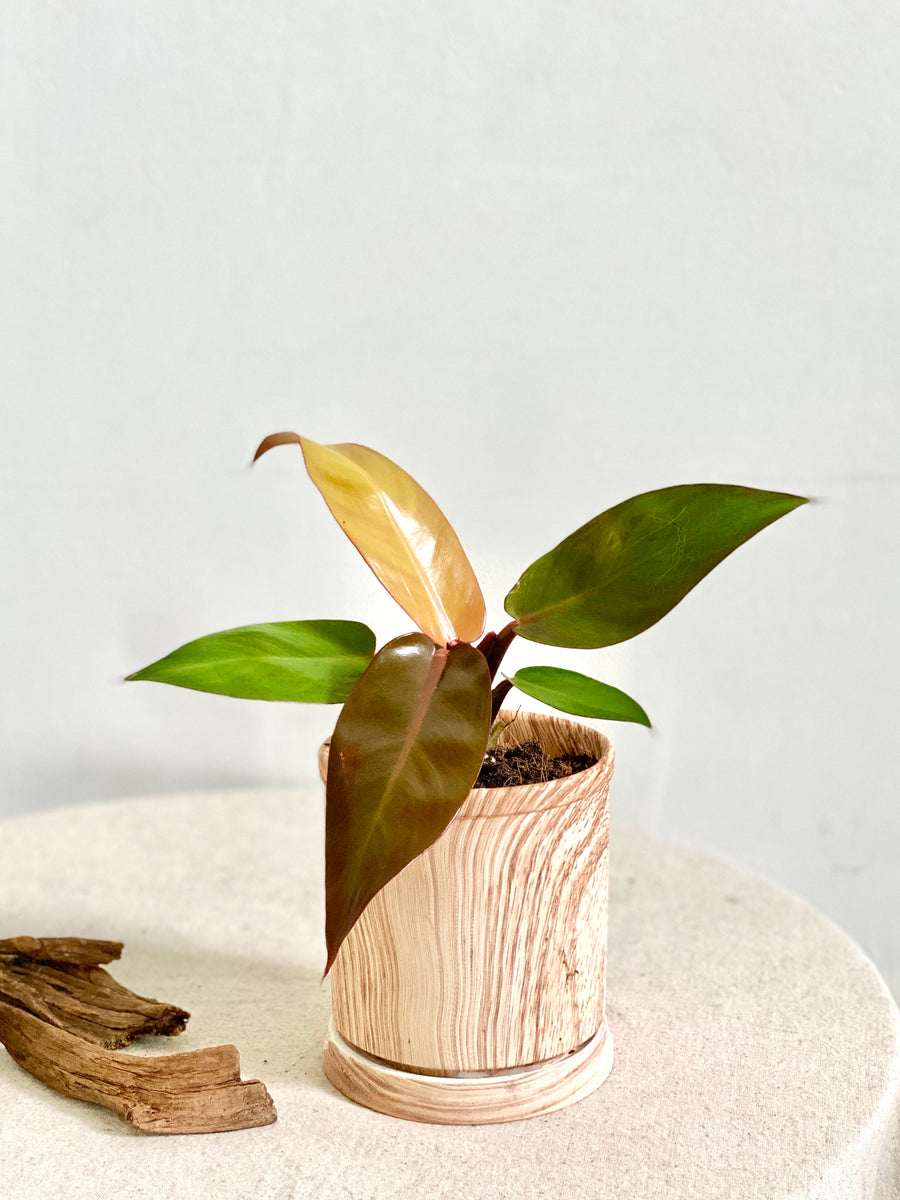 Blushing Philodendron in Small Wooden Planter
